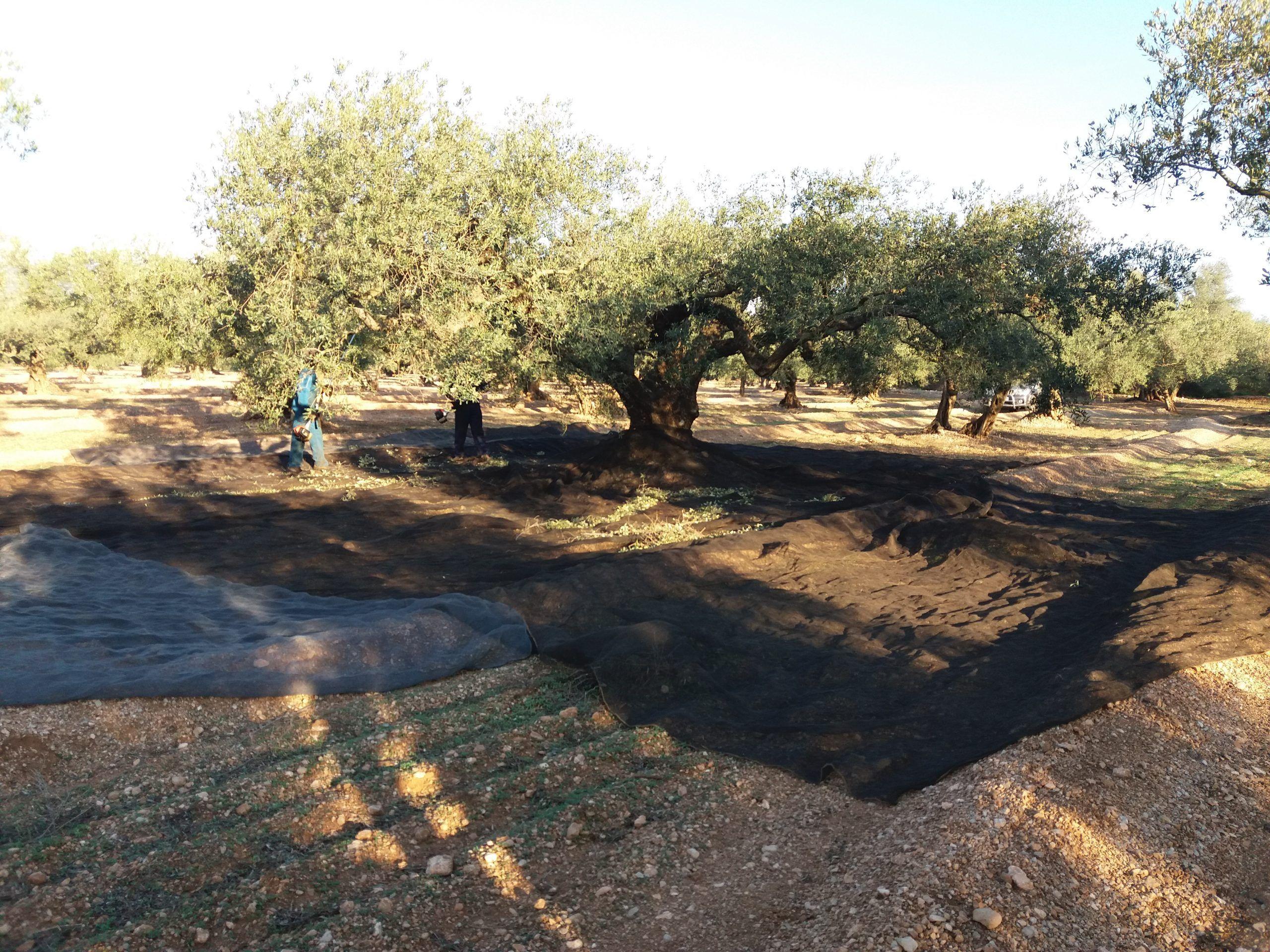 """El primer raig d'oli d'oliva verge extra ve de la mà de la mil·lenària varietat """"farga"""""""